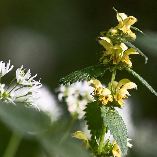dead-nettle-wild-garlic are edible flowers