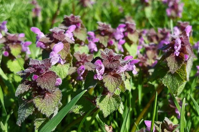purple dead-nettle is edible