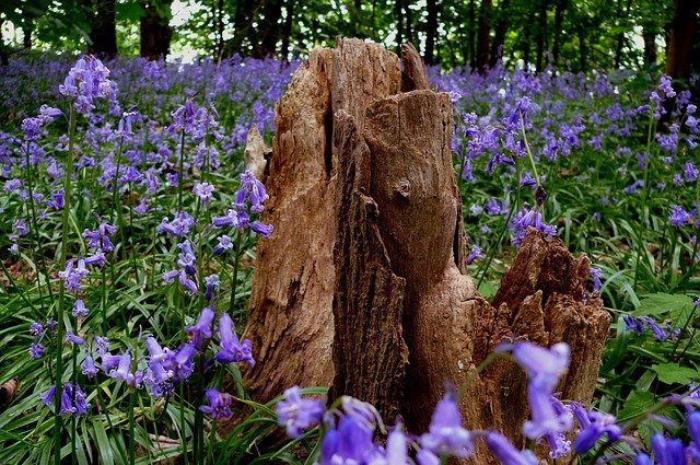 wild hyacinth or bluebells