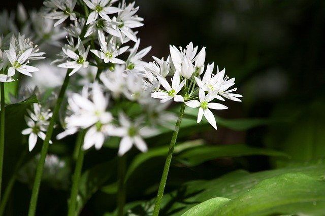 wild garlic is great in pesto, garlic butter, and soup