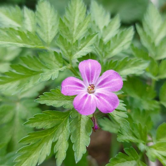 Geranium robertianum in the vendee