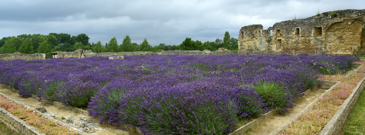 Lavender field at Maillezais Abbey in the Vendee